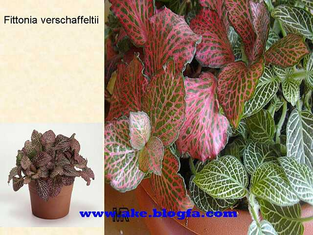 Fittonia verschaffeltii گل   عکس باغبانی - عکس گل - گل های آپارتمانی - گل زینتی - گل چندساله - گل یکساله