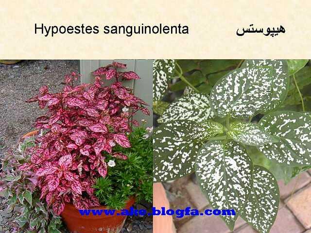 گل هیپوستس  عکس باغبانی - عکس گل - گل های آپارتمانی - گل زینتی - گل چندساله - گل یکساله