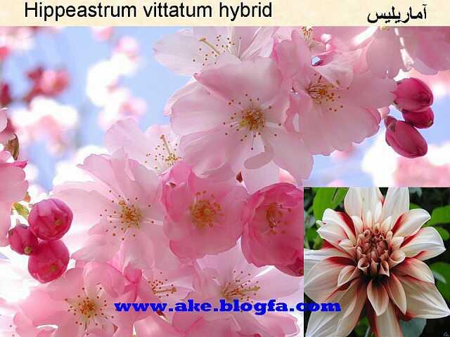 گل آماریلیس عکس باغبانی - عکس گل - گل های آپارتمانی - گل زینتی - گل چندساله - گل یکساله