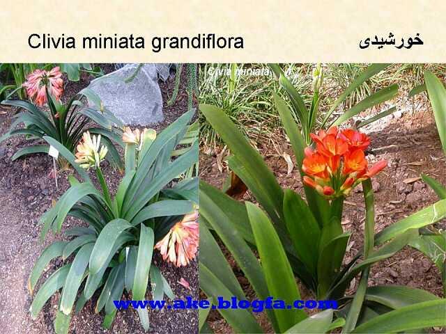 گل خورشیدی  عکس باغبانی - عکس گل - گل های آپارتمانی - گل زینتی - گل چندساله - گل یکساله