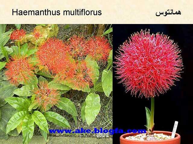 گل همانتوس  عکس باغبانی - عکس گل - گل های آپارتمانی - گل زینتی - گل چندساله - گل یکساله