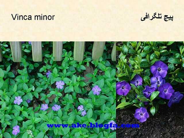 گل پیچ تلگرافی عکس باغبانی - عکس گل - گل های آپارتمانی - گل زینتی - گل چندساله - گل یکساله