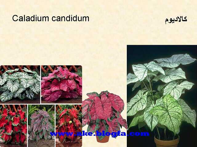 گل کالادیوم عکس باغبانی - عکس گل - گل های آپارتمانی - گل زینتی - گل چندساله - گل یکساله
