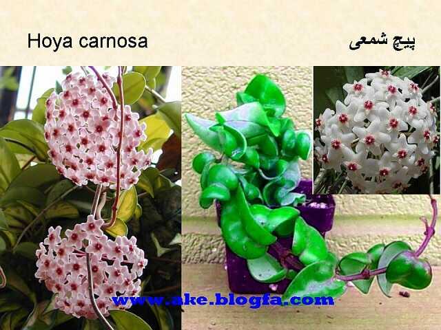گل پیچ شمعی  عکس باغبانی - عکس گل - گل های آپارتمانی - گل زینتی - گل چندساله - گل یکساله