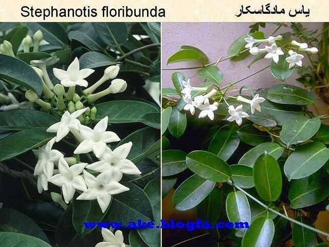 گل یاس ماداگاسکار  عکس باغبانی - عکس گل - گل های آپارتمانی - گل زینتی - گل چندساله - گل یکساله