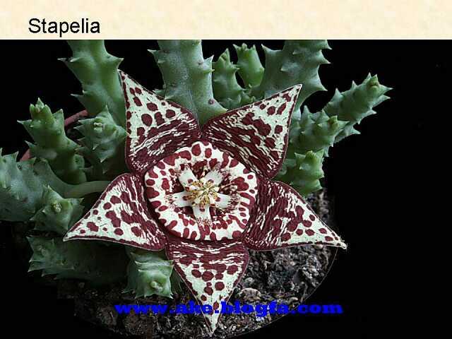 گل Stapelia  عکس باغبانی - عکس گل - گل های آپارتمانی - گل زینتی - گل چندساله - گل یکساله