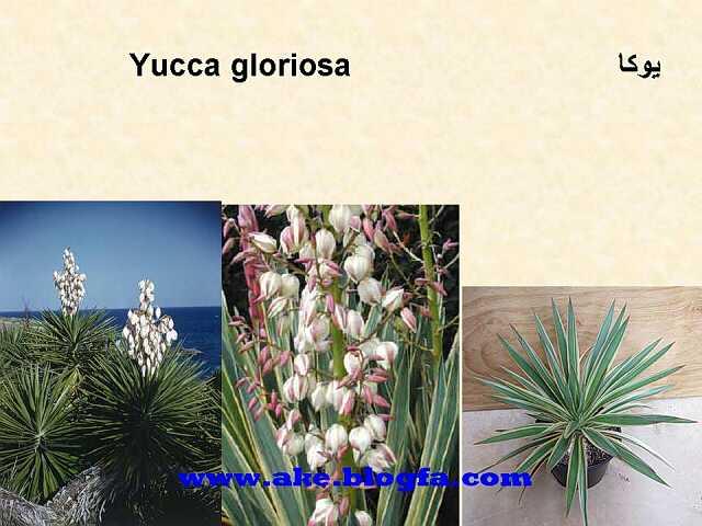 گل یوکا  عکس باغبانی - عکس گل - گل های آپارتمانی - گل زینتی - گل چندساله - گل یکساله